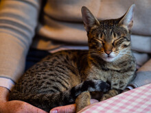 Savannah Cat Portrait.  Cat With Short Spotted Coat Pattern Sleeping Curled Up And Relaxed On Her Owners Lap