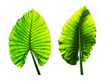 Elephant Ear Leaves Isolate On White Background, Green Leaf Texture, Leaves Set