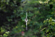 A Yellow Garden Spider In The Center Of It's Web. Argiope Aurantia