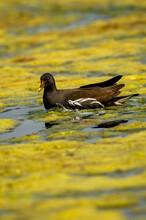 Common Moorhen Or Gallinula Chloropus Bird In Wetland Of Keoladeo National Park Or Bharatpur Bird Sanctuary Rajasthan India