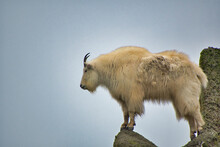 The Mountain Goat Standing On The Artificial Rock.    Vancouver Zoo  BC Canada