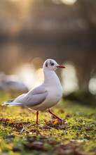 Black Headed Gull Standing On Grass With Blurred Background.