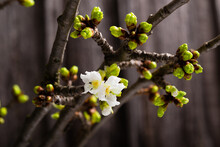 First Cherry Flower Blossoming Indoor, Home Decoration, Macro