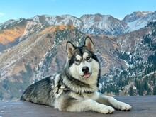 Siberian Husky (Alaskan Malamute) Lies On A Wooden Platform In The Mountains. Close-up Photo