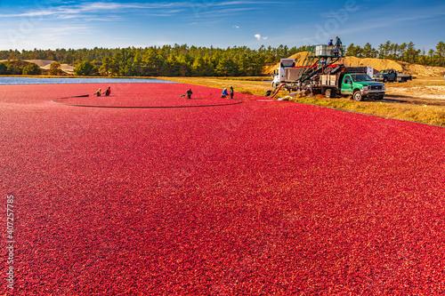 Slika na platnu Massachusetts-Carver-Cranberry harvest