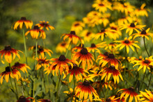 Rudbeckia Hirta Var. Pulcherrima (Blackeyed Susan) - Summer Bright Yellow Flowers Bloom In The Garden. Green Background