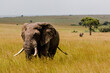 canvas print picture - large elephant bull in african savannah