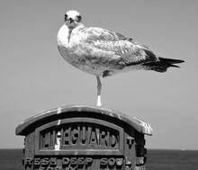 American Herring Gull Standing On Lifeguard Emergency Box
