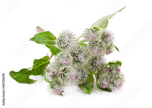 Photo Wolly or downy burdock flowers (Arctium tomentosum) isolated on a white background