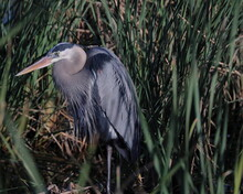 Great Blue Heron With Hunched Neck  Standing Among Tall Marsh Grass In Coastal Southern Texas