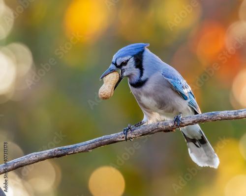 Fotografie, Obraz Blue Jay With a Peanut