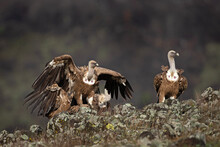 Griffon Vulture Searching For Food. Birds Scavengers On The Rock. The Herd Of Vulture In Bulgaria.