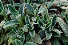 Green Young Leaves Of Lamb Ears (stachys Byzantina / Stachys Lanata / Stachys Olympica / Woolly Hedgenettle), Flower Bed. Blur