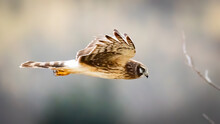 Northern Harrier In Flight Looking For A Meal In The Fields