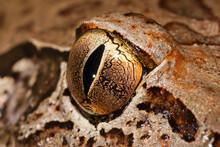 Eye Of The Endangered Giant Barred Frog From Australia
