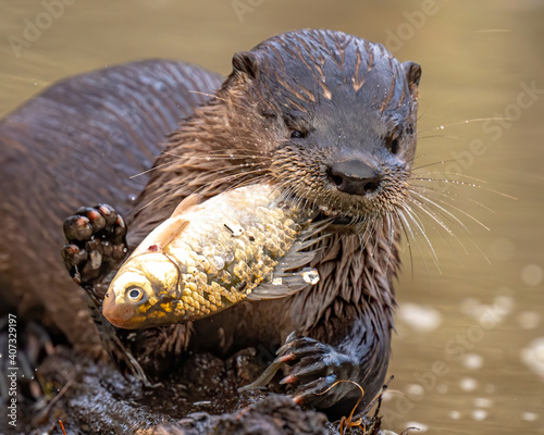 River otter catching and eating fish in the pond Fototapeta