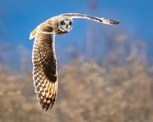 Short Eared Owl In Flight Over The Fields