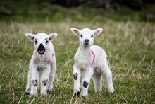 Two Lambs In Field Looking For Mother Sheep