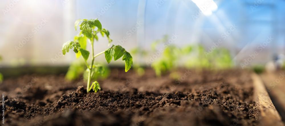 Obraz Young tomato seedlings growing in the soil at greenhouse fototapeta, plakat