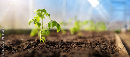 Fotografie, Obraz Young tomato seedlings growing in the soil at greenhouse