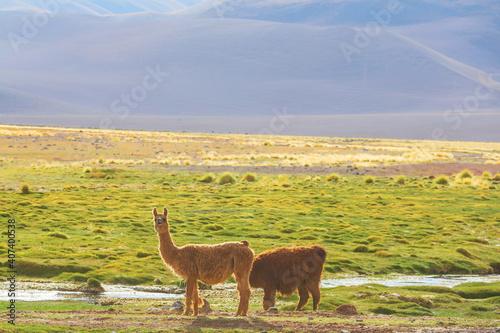Fototapeta premium Llama