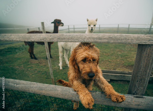 Fototapeta premium Redhaired dog stands on hind legs posing near wooden fence. Terrier looks at photographer with mysterious look. Backdrop white and brown alpacas graze on ranch green grass foggy haze beautiful nature