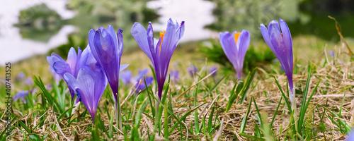 Fotografie, Obraz Close up group of blooming crocuses spring flowers