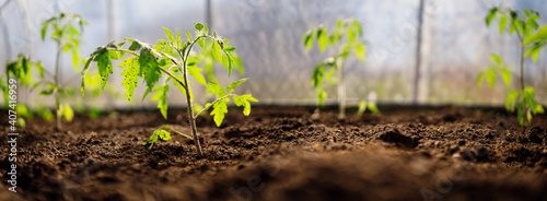 Stampa su Tela Young tomato seedlings growing in the soil at greenhouse