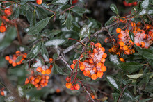 January 2021. Branch Of Orange Pyracantha Under Snow Falling Over The Park