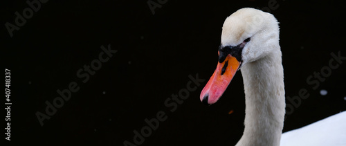 Tableau sur Toile Portrait of white swan with orange beak on black background