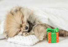 Pomeranian Spitz Puppy Sleeps With Gift Box On Pillow Under White Warm Blanket On A Bed At Home
