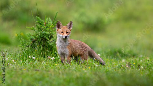 Fototapeta premium Little red fox, vulpes vulpes, cub looking on green glade in spring. Young mammal standing on meadow with flowers in springtime. Baby orange animal listening on field.