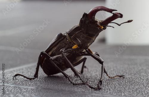 Canvas Escarabajo Ciervo