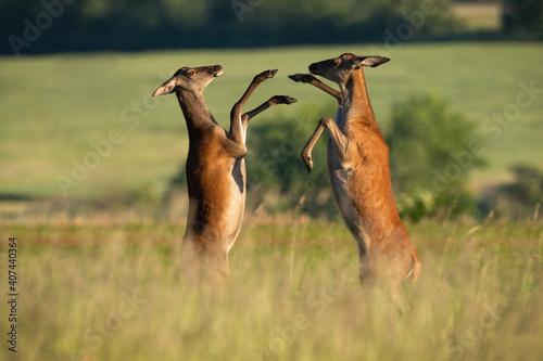 Two red deer, cervus elaphus, fighting on meadow in summertime nature Wallpaper Mural