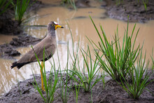 Wattled Plover Standing Next To A Puddle Facing Right