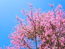 Close Up Of Wild Himalayan Cherry Flowers Or Sakura