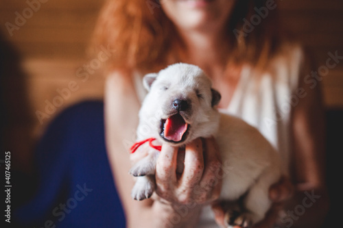 Fototapeta Newborn swiss shepherd lying in breeder hands
