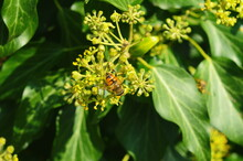 Honeybee With Pollen On An Ivy Flower. Flowering Ivy.
