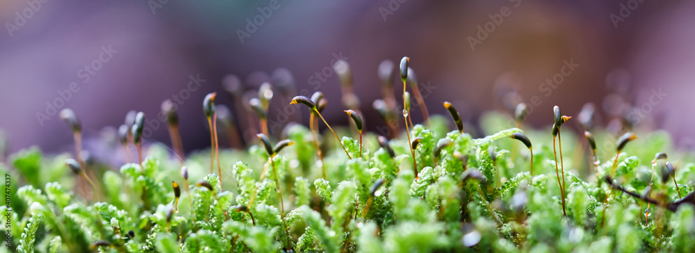 Fototapeta Forest green and moist moss sporophytes macro texture, with rain drops on and blurred pastel purple bokeh web banner background, selective focus