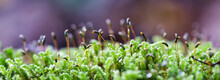 Forest Green And Moist Moss Sporophytes Macro Texture, With Rain Drops On And Blurred Pastel Purple Bokeh Web Banner Background, Selective Focus