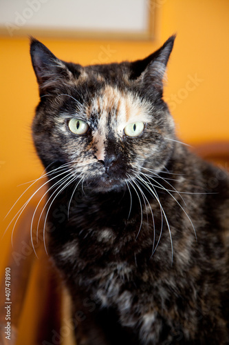 Obraz na plátně portrait of a beautiful tortoiseshell female cat with long whiskers
