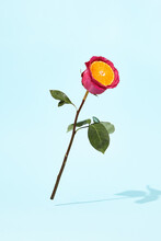 Minimal Layout With Purple Rose On Blue Background. Creative Minimal Rose With Orange Slice And Water Drops. Pink Flower With Fresh Fruit. Sunshie And Shadow