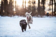 Weimaraner Und Labrador Im Schnee