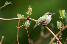 Hidden Female Ruby Throated Hummingbird