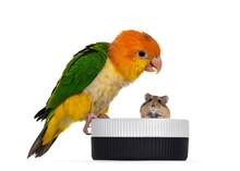 Young White Bellied Caique Bird, Sitting Side Ways On Edge Of Food Bowl. Looking Curious To Hamster In The Bowl. Isolated On White Background.