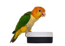 Young White Bellied Caique Bird, Sitting Side Ways On Edge Of Food Bowl. Isolated On White Background.
