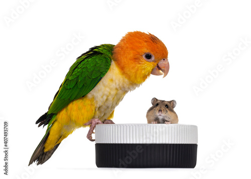Fotografia Young White bellied caique bird, sitting side ways on edge of food bowl