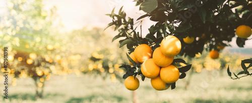 Arance sul ramo dell'albero