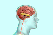 Human Brain In Body With Highlighted Inferior Temporal Gyrus