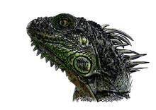 Green Iguana Vector Illustration